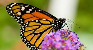Your Green Home: Milkweed for Monarchs